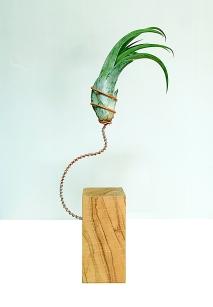 Tillandsia circinata sobre olivo