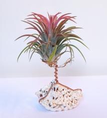 Tillandsia ionantha rood sobre concha